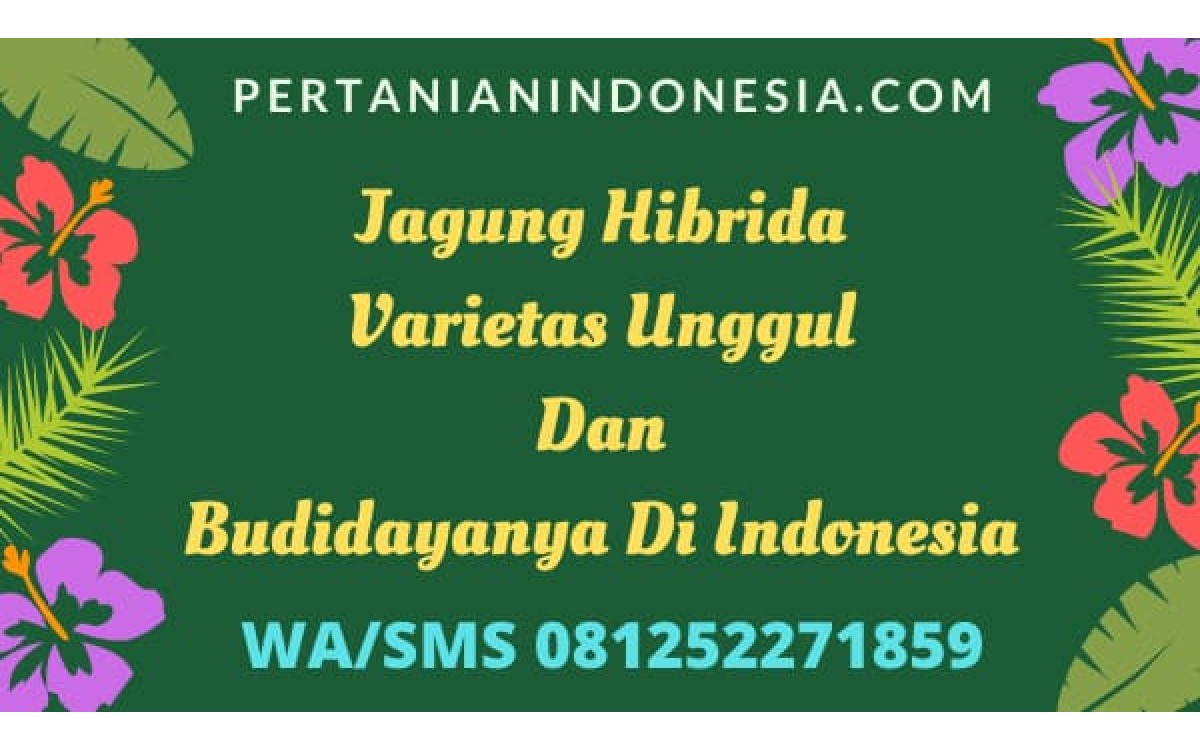 Jagung Hibrida Varietas Unggul Dan Budidayanya Di Indonesia