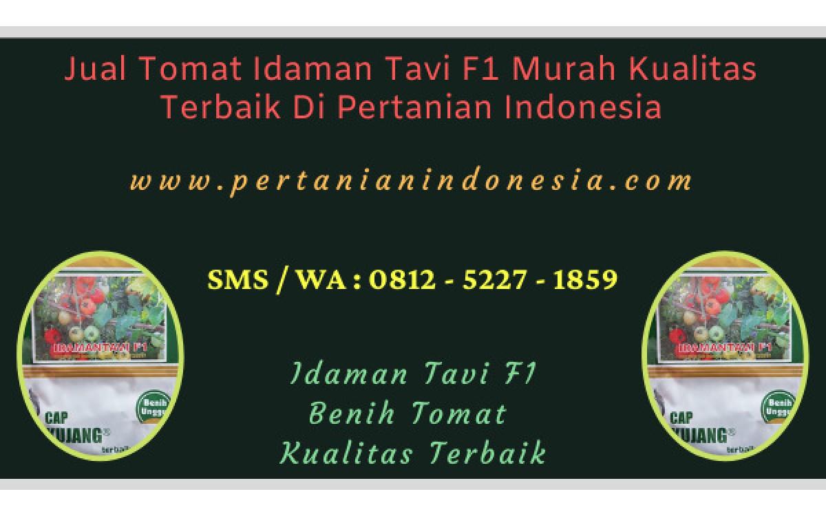 Jual Tomat Idaman Tavi F1 Murah Kualitas Terbaik Di Pertanian Indonesia