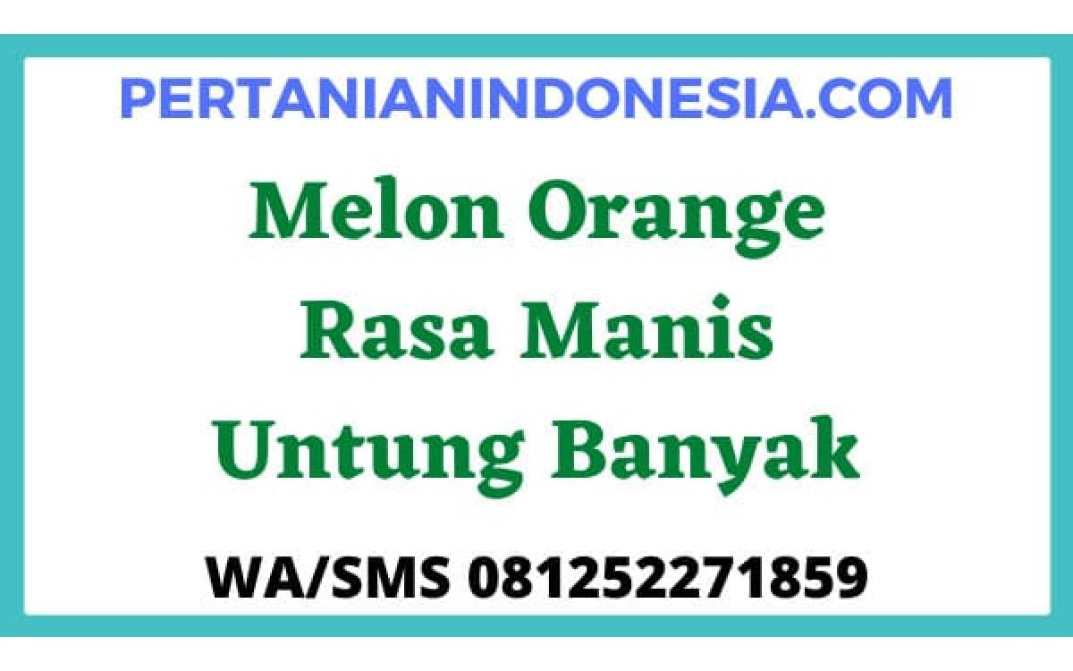 Melon Orange Rasa Manis Untung Banyak