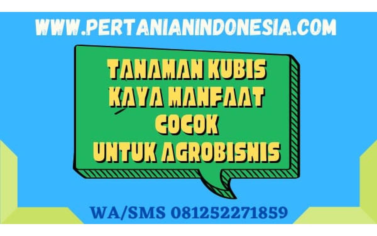 Tanaman Kubis Kaya Manfaat Cocok Untuk Agrobisnis