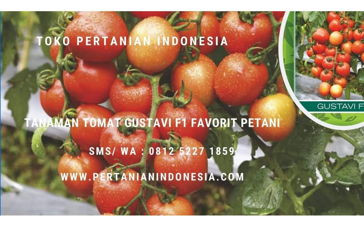 10 Alasan Tanaman Tomat Gustavi F1 Panah Merah Favorit Petani