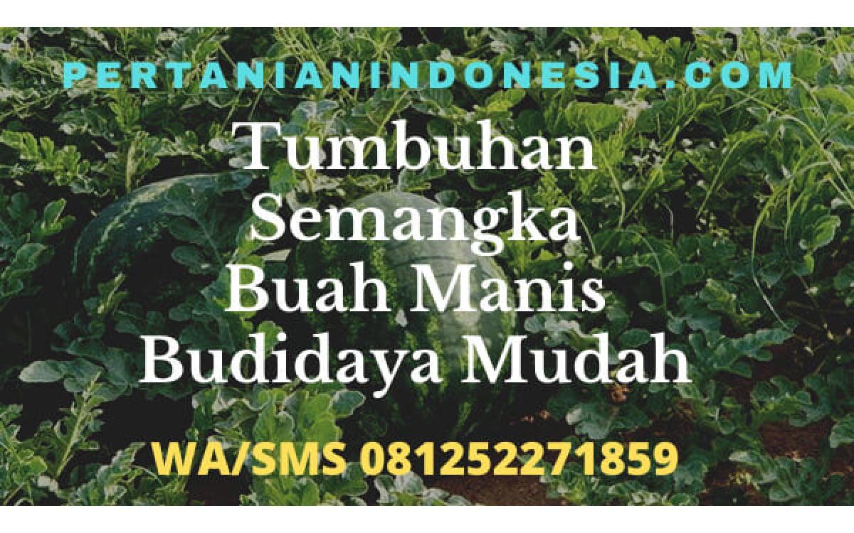 Tumbuhan Semangka Buah Manis Budidaya Mudah