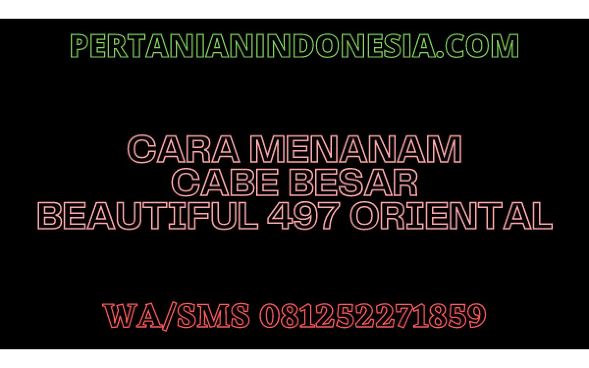 CARA MENANAM CABE BESAR BEAUTIFUL 497 ORIENTAL